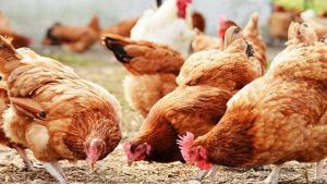 UAE poultry