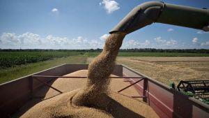 wheat reserves