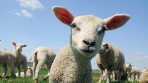 UK sheep