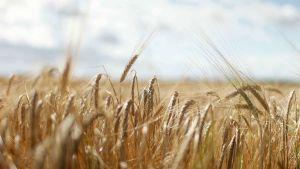 wheat UK
