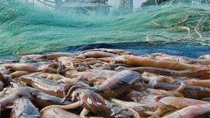 Argentine squid