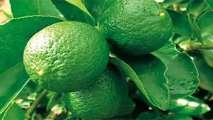 Argentina lime