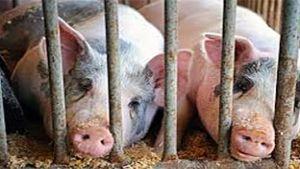 U.S. hogs