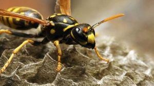 Invasive wasps