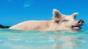 Jamaica pig