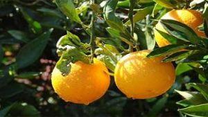 Uruguay citrus
