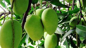 Punjab mango