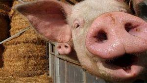 Danish pork