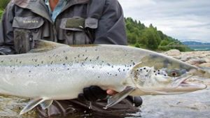 Norway salmon