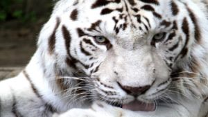White Tiger Gold