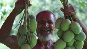 Bangladesh mango