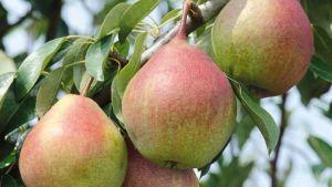 Belarus pears