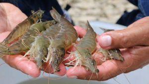 Ecuadorian shrimps