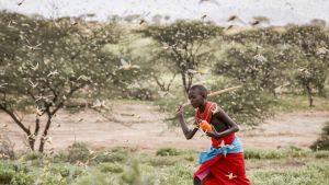 Locust in East Africa