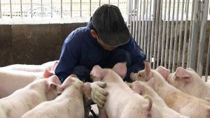 Pig farm in Japan
