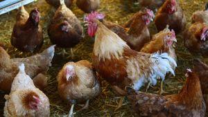 Slovakia poultry