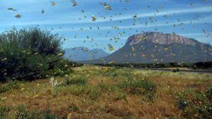 Somalia locusts