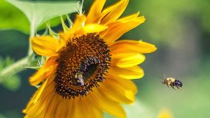 Thiacloprid is harmful for bees