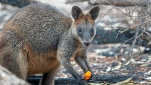 Wallaby eats after the fire