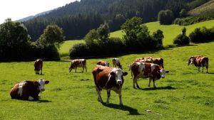 Austria cattle