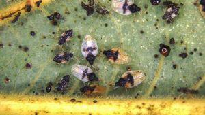 Avocado lace bug