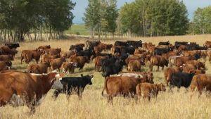 Livestock Canada
