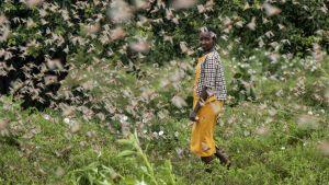 Locust Botswana
