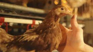 U.S. poultry