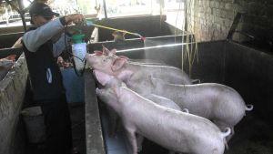 Bali pigs