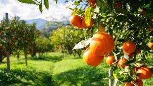 Oranges in Brazil