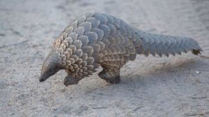 Pangolin scales