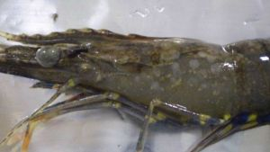 Queensland shrimp