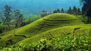 Sri Lanka tea field