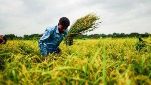 Bangladesh rice
