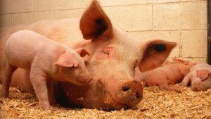 EU pig meat