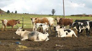 Lesotho cows