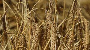 Australian barley