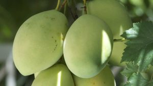 Cambodia mango