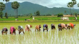Cambodia rice field