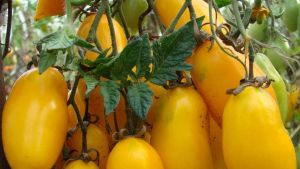 Canary tomatoes