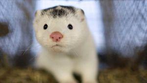 Dutch mink farm