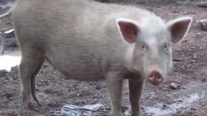 India pigs
