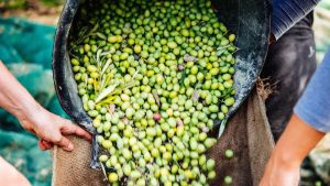 Italy olive field