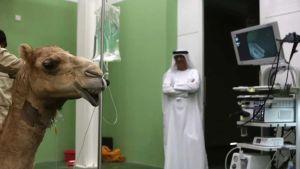 Largest camel hospital