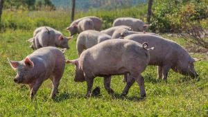 Latvia pigs