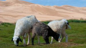Mongolia sheep herd