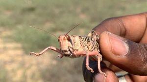 Namibia red locust