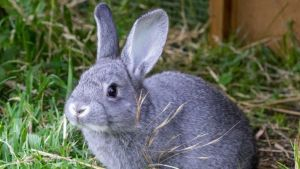 Nevada Rabbit Hemorrhagic Disease