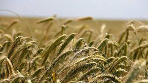 Romania's grain