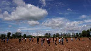 Spain migrant strawberry pickers work